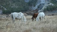Stock Video Footage of Horses grazing in the himalayas with mountains in the background.
