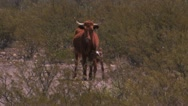Stock Video Footage of Longhorn cow & calf