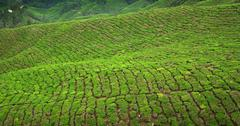 Tea crop in cameron highlands, malaysia Stock Photos