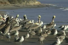 Refugio State Beach California Brown Pelicans Preen Before Oil Spill Stock Footage