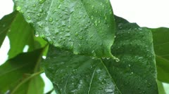 Raindrops hitting avacado leafs during a heavy rainfall Stock Footage