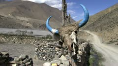Bull scull near farm in Annapurna region, Himalayas, Nepal. Stock Footage
