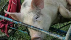 Small pig Stock Footage
