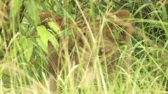 Lion behind the grass Stock Footage