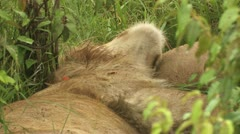 Lion sleeping on his back Stock Footage