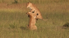 Lions in the high jump - Playing Stock Footage