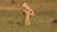 Stock Video Footage of Lions in the high jump - Playing