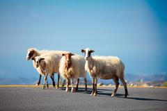 Sheeps on the road - stock photo
