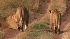 Lions walk through 1 Stock Footage