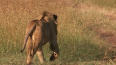 Lions running on the road - stock footage