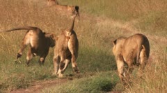 Lions are playing on the road Stock Footage
