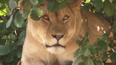Lion in the bushes Stock Footage