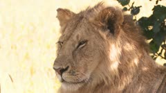 Lion in the shade Stock Footage