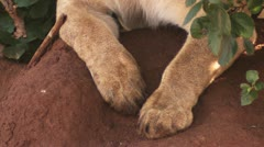 Lion's paw Stock Footage