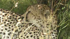 Cheetah resting in the shade Stock Footage