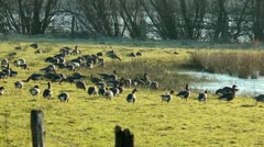 Group of wild geese feeding on meadow Stock Footage