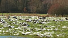 Wild geese on snowy meadow Stock Footage