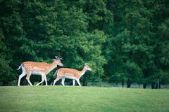 Two roe deers on a meadow Stock Photos