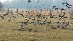 swarm of wild geese landing - stock footage
