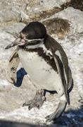 Magellanic penguins - Spheniscus magellanicus Stock Photos