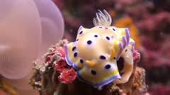 Twin Magnificent Nudibranch slug laying eggs, Shot 1 of 5 Stock Footage