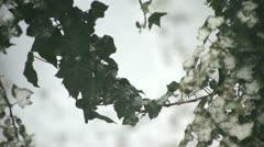 Snow on Ivy leaves Stock Footage