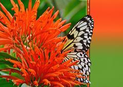 Tree Nymph in an orange flower Stock Photos