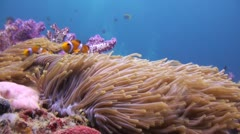 Nemo in a Coral Reef Stock Footage