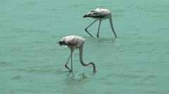 American flamingos  feeding at salt flat in curacao Stock Footage