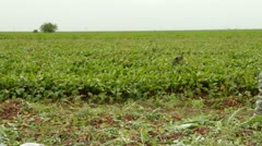 Field of beets. Stock Footage
