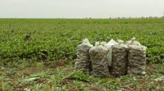 Beet Plantation - stock footage