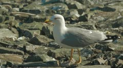 Seagull Stock Footage