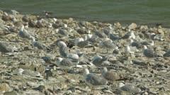 Seagulls Prink Stock Footage