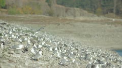 Many Seagulls Stock Footage