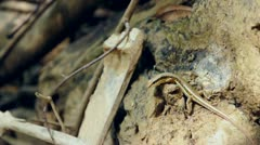 Little skink lizard in the forest at National Park, Thailand. Stock Footage