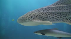 Friendly Leopard Shark Stock Footage