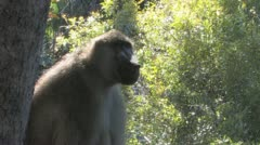 Big Baboon Closeup Stock Footage