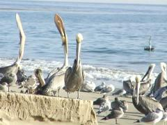 Refugio State Beach California Brown Pelicans Yawn Preen Before Oil Spill Stock Footage