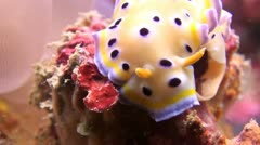 Twin Magnificent Nudibranch slug laying eggs, shot 4 of 5 Stock Footage