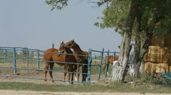 Stallions In Paddock. Full frame. Stock Footage