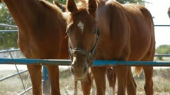 Stallions In Paddock Stock Footage