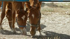 Stallions In Paddock. Close-up Stock Footage