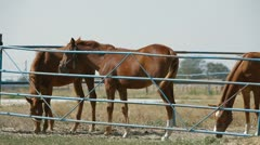 Stallions On Pasture - stock footage