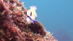 Beautiful Risbecia Nudibranch, Clip 1 of 3 Stock Footage