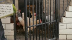 Hens - stock footage