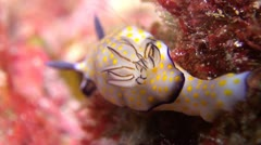 Beautiful Risbecia Nudibranch, Clip 3 of 3 Stock Footage