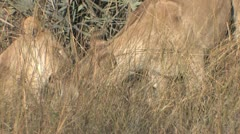 Lionesses eat kill as it screams - abridged coverage Stock Footage