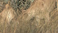 Stock Video Footage of Lionesses eat kill as it screams - abridged coverage
