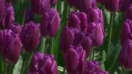 Dutch tulip field in purple - full screen background Stock Footage