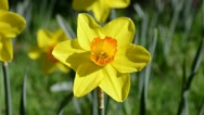 Daffodil Close Up Blowing in the Wind Stock Footage